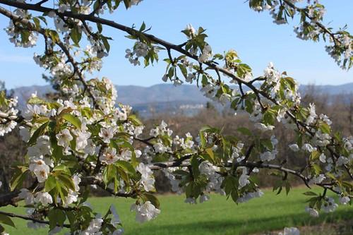 20110407_1304_cherry-blossom