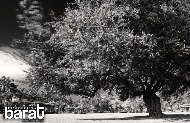 trees in bayanihan park angeles pampanga