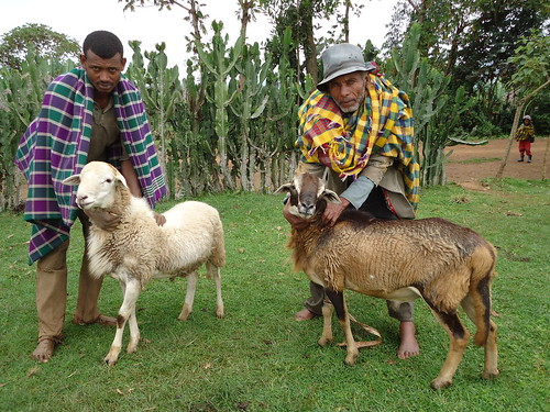 Sheep fateening, Sidama, Southern Nations, Nationalities, and People's Region, Ethiopia