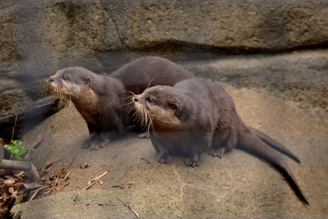 Asian Small Clawed Otter Chorus