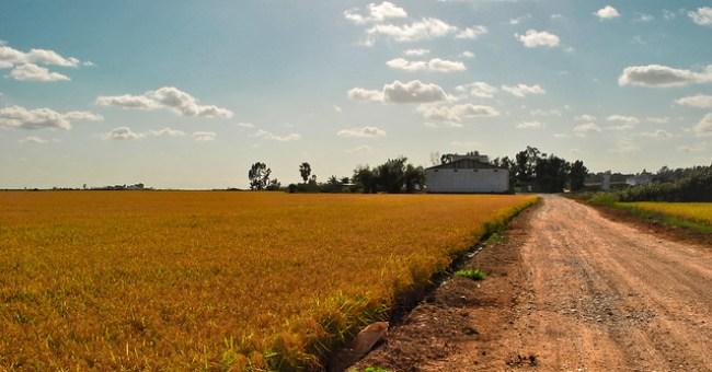 Un arrozal junto a un almorrón en La Puebla del Río, Sevilla