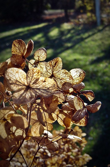 autumn hydrangea flower in garden