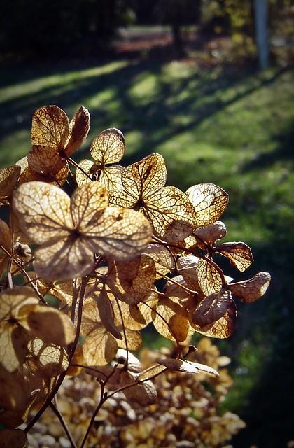 autumn hydrangea flower in garden