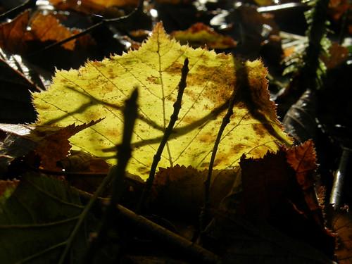 Back-lit leaf II
