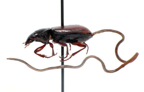 Pterostichus haematopus infested with a hairworm (Nematomorpha: Gordiida)
