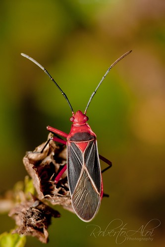 Riverbend Cotton Stainer Bug by Roberto_Aloi