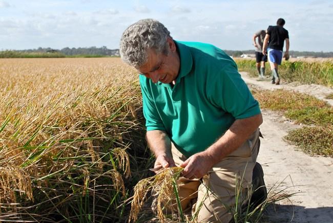 Un hombre siega algunas espigas de arroz en La Puebla del Río, Sevilla