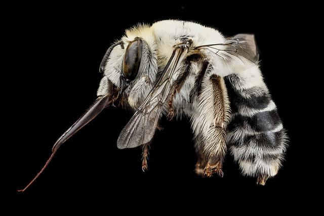 Anthophora affabilis, F, side, Pennington County, SD_2012-11-13-14.02.56 ZS PMax