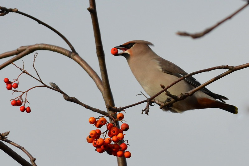 Waxwing with berry