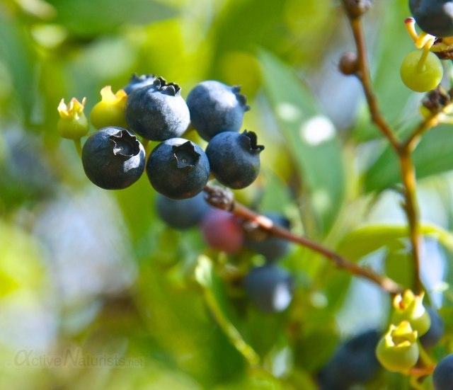 blueberry 0005 Harriman park, NY, USA