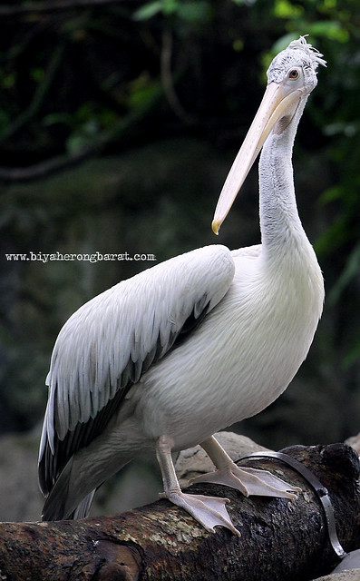 pelican in singapore zoo