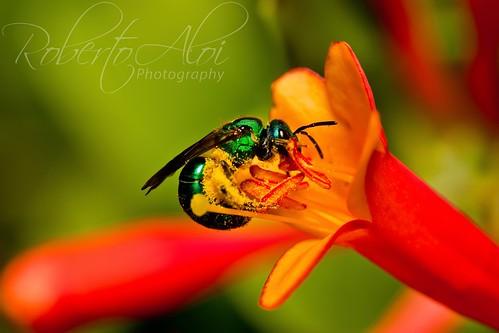 Okeeheelee Orchid Bee by Roberto_Aloi