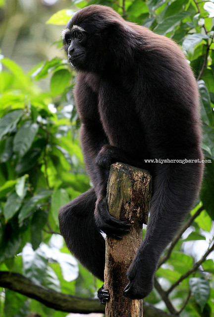 Agile Gibbon in Singapore Zoo