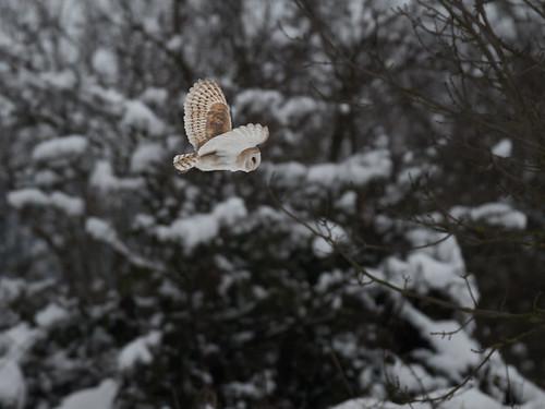 Barn Owl-winter hunting