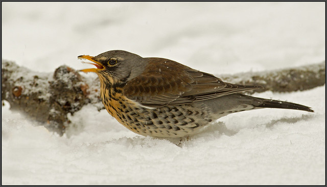 Fieldfare poking his tongue out