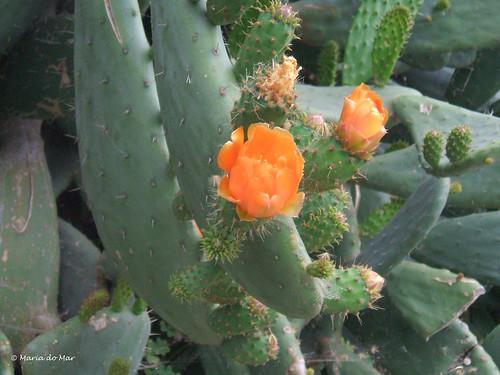 Flores de Piteira by lusografias