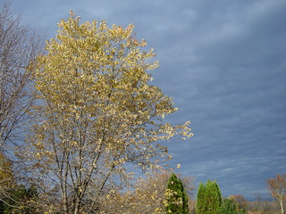 yellows of autumn against dark clouds