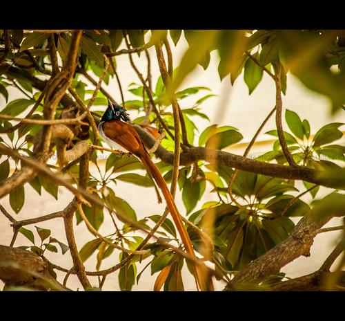 Asian Paradise Flycatcher - Terpsiphone paradisi by Rajanna @ Rajanna Photography