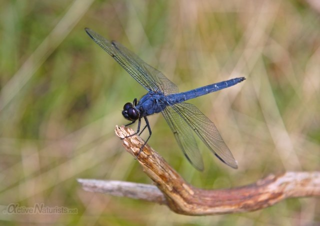 dragonfly 0012 Harriman park, NY, USA