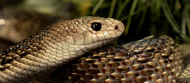 Flourida Pine Snake