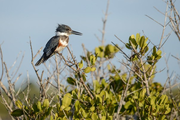 Belted Kingfisher lady poses