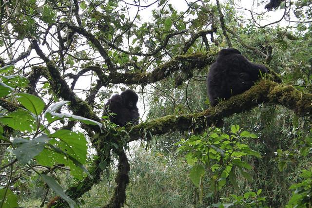 gorillas in the trees