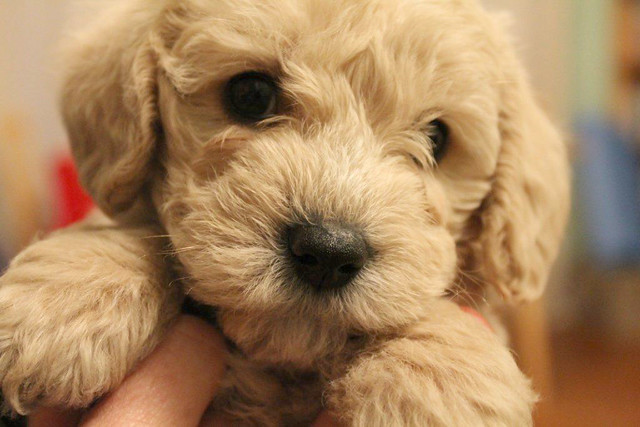 Charlie schnoodle puppy