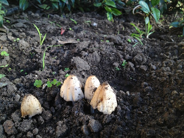 Emerging mushrooms