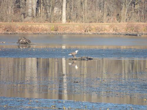 Bald Eagle Eating in Big Pond