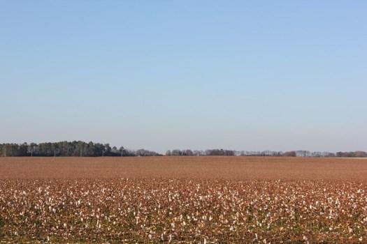 Cotton Field, North Alabama