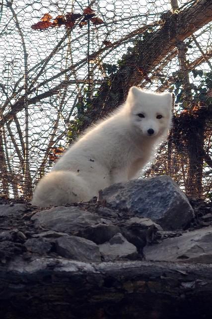 Fox Pup in the Sun