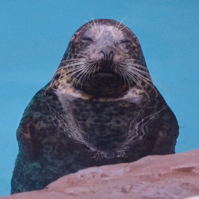 Harbor Seal Meditates (corrected)