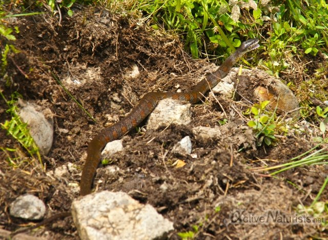 northern water snake 0014 Harriman park, NY, USA