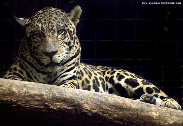 Leopard in Singapore Zoo