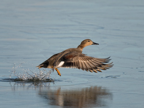 Teal (female)-escaping from the ice