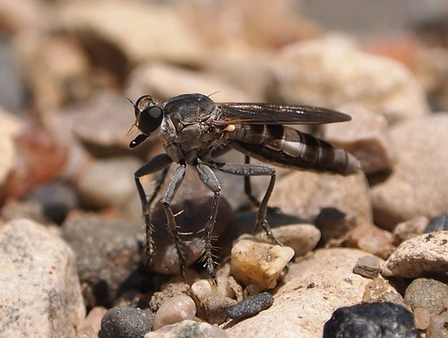 Three-banded Robber Fly (Stichopogon trifasciatus) by Vicinum