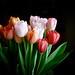 Tulips in Colour