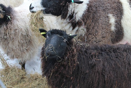 sheep in hay