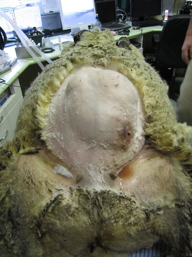 abdominal lump in sheep