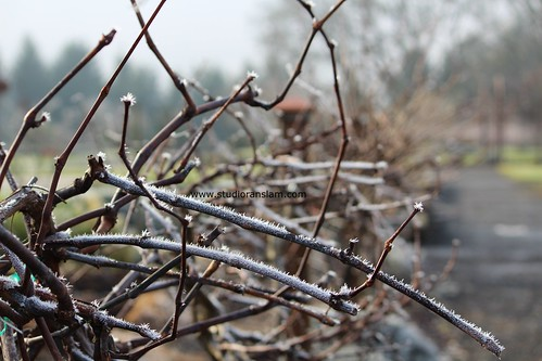 Frost on the Vine
