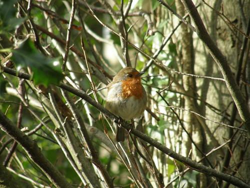 Robin between riffs