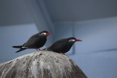 Inca Tern (3)