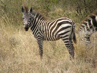 Cebra (Equus quagga)