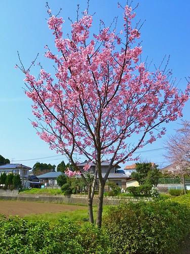 緋寒桜?01
