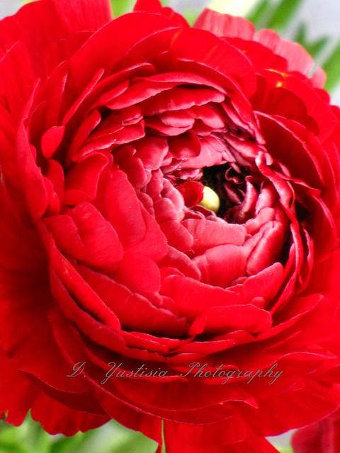 Close-Up Ranunculus