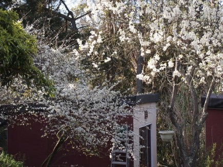 plum blossoms - P3080276
