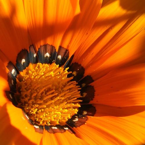Gorgeous gazinia.jpg by Patricia Manhire