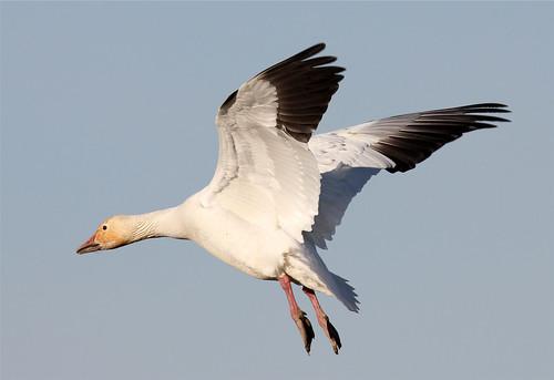 Chen caerulescens (Snow Goose)