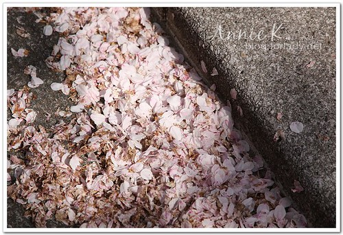 白川通櫻花瓣