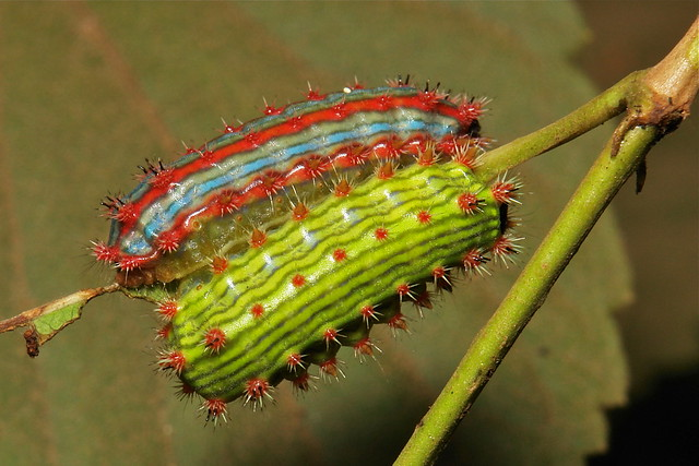 "Stinging Nettle Slug Caterpillars (Cup Moths, Limacodidae) ""Triple Streak"""